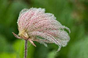Dew Covered Prairie Smoke