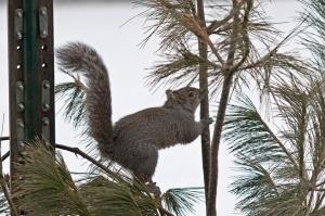 Grey-Squirrel-13-3-_3707
