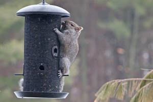 Grey-Squirrel-13-3-_3768